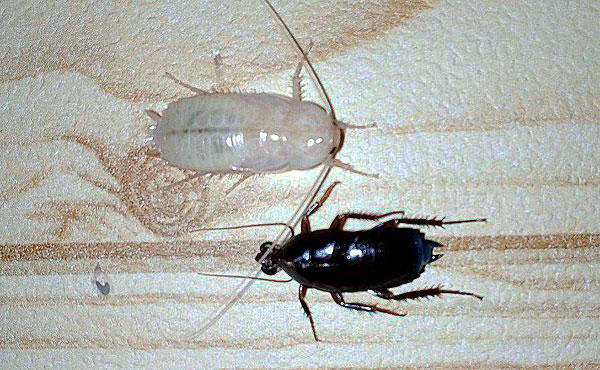 Видно, что сама кутикула от нимфы по размерам меньше вышедшего из неё таракана.