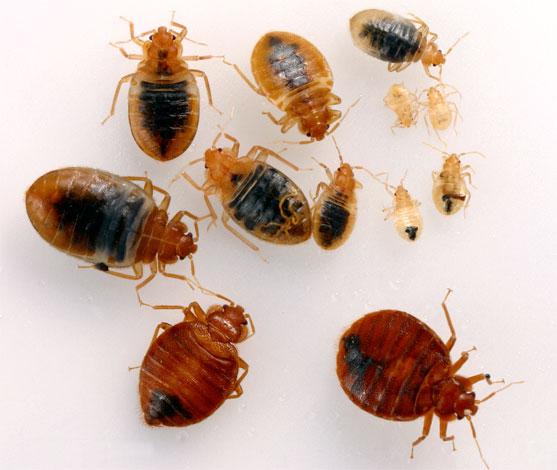 Взрослые клопы и их личинки