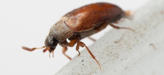 Как избавиться от жуков кожеедов и их личинок в квартире фото