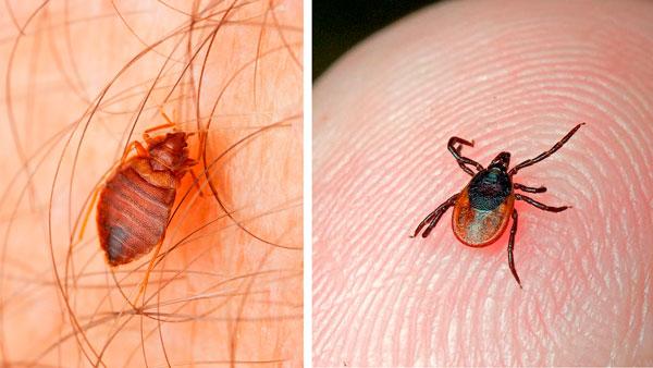 На фото особенно легко сосчитать ножки у этих паразитов.