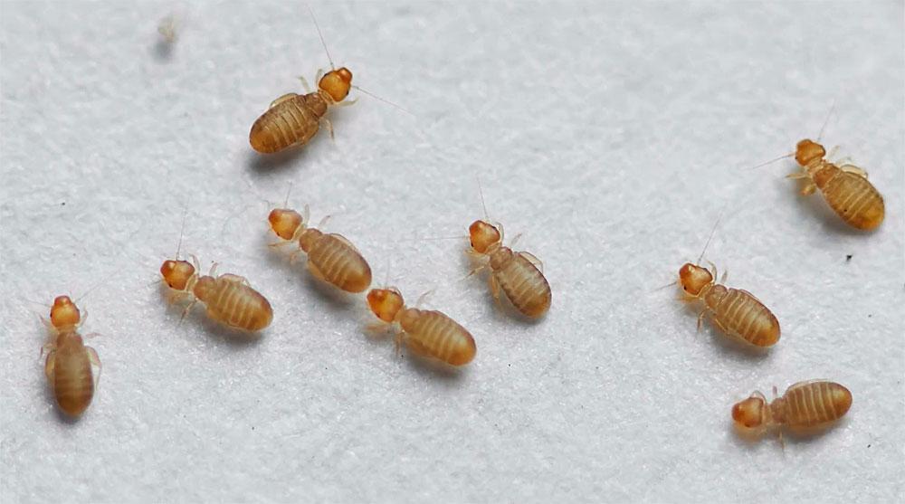 Хорошо видно, что у этих насекомых намного более массивная голова и вытянутое тело, чем у постельных клопов
